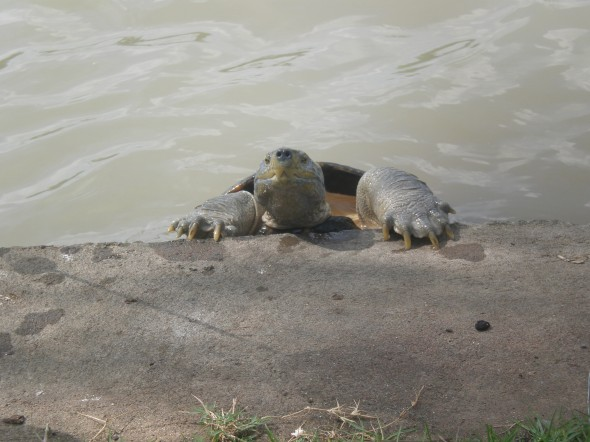 Turtle in chatuchak park