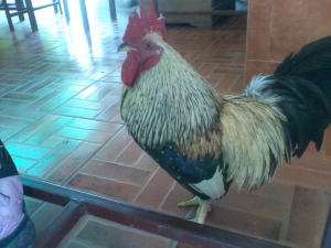 The cockerel in Coffee House No.1 - Koh Kret